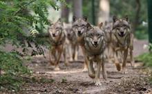 Foto Wolfcenter Dörverden